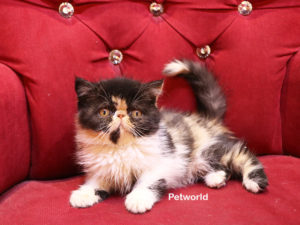exotic-shorthair-emmy-akmerkez-petworld-3