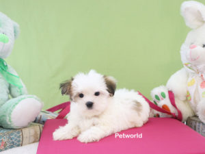 morkie-mayli-akmerkez-petworld-design-dog
