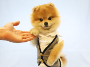 pomeranian-boo-peter-akmerkez-petworld-2
